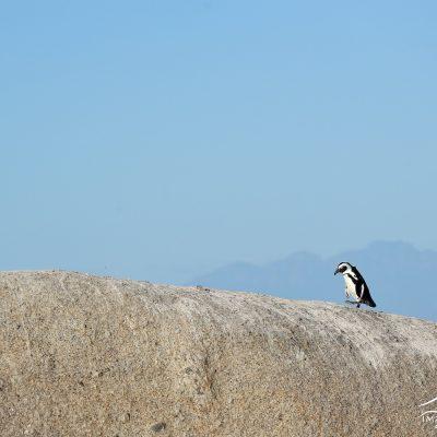 African Penguin 001