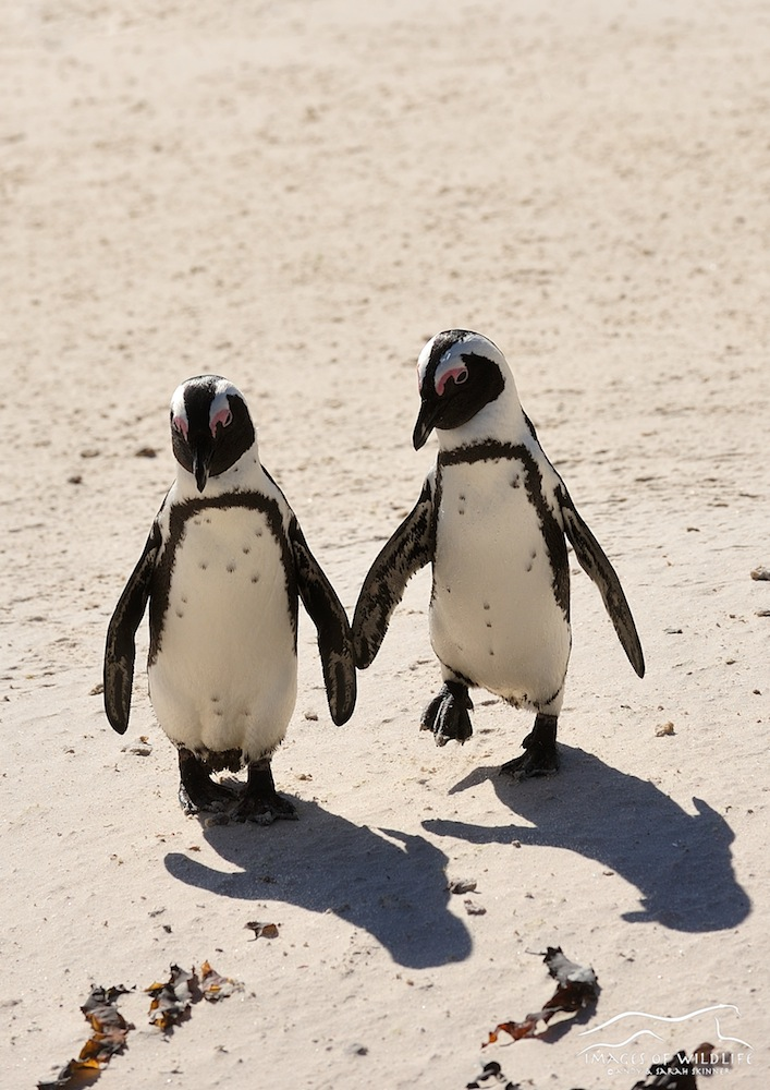 African Penguin 003