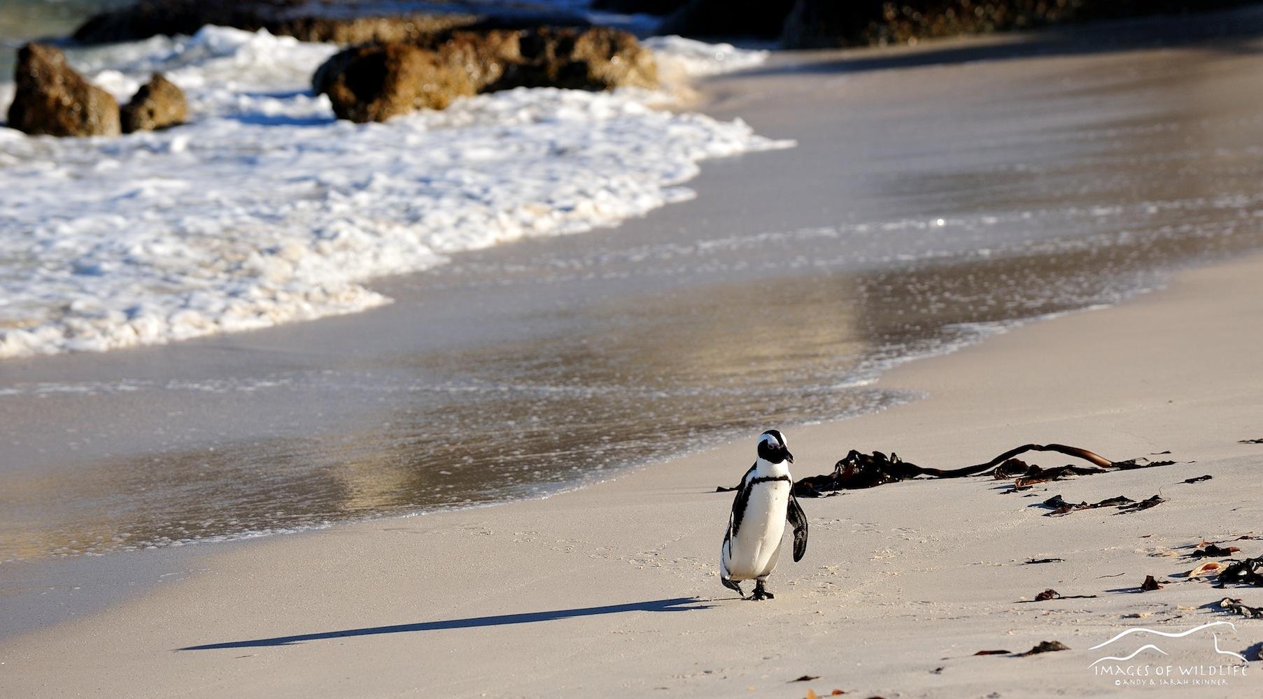 African Penguin 004