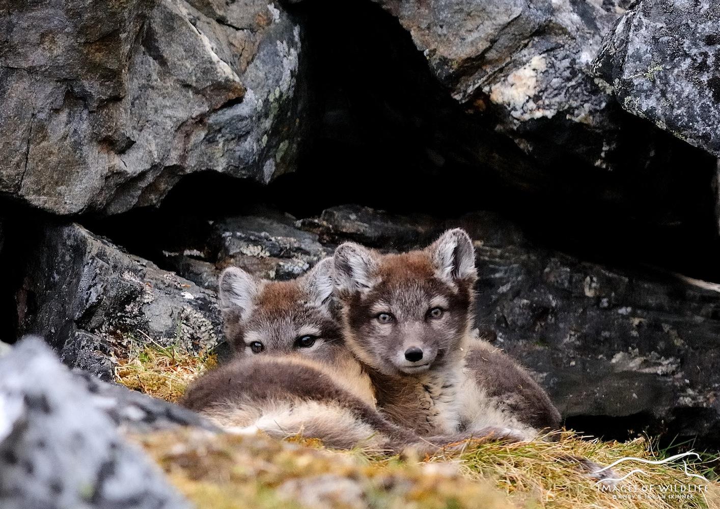 Arctic Fox 001