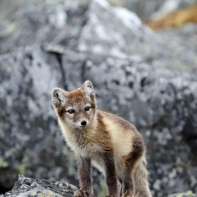 Arctic Fox 002
