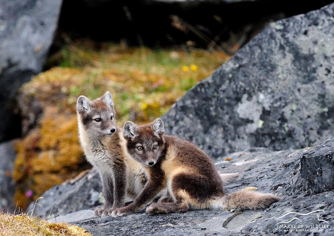 Arctic Fox 003