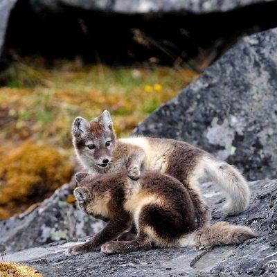 Arctic Fox 004