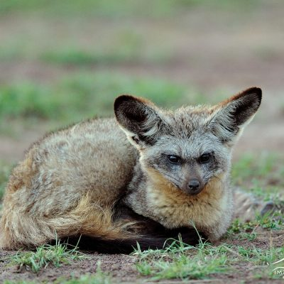 Bat Eared Fox 001