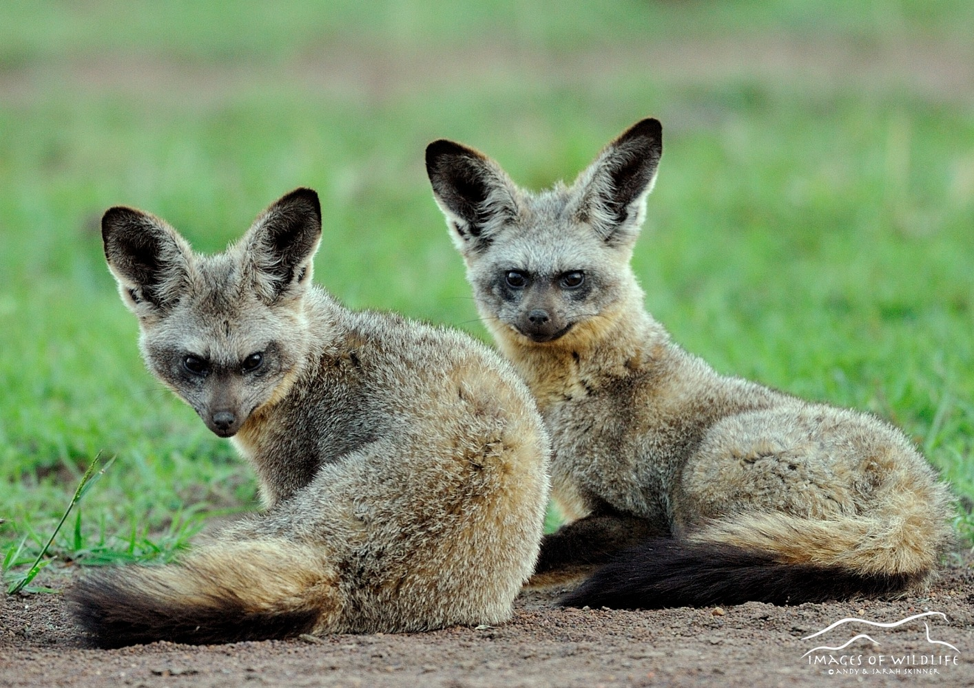 Bat Eared Fox 002