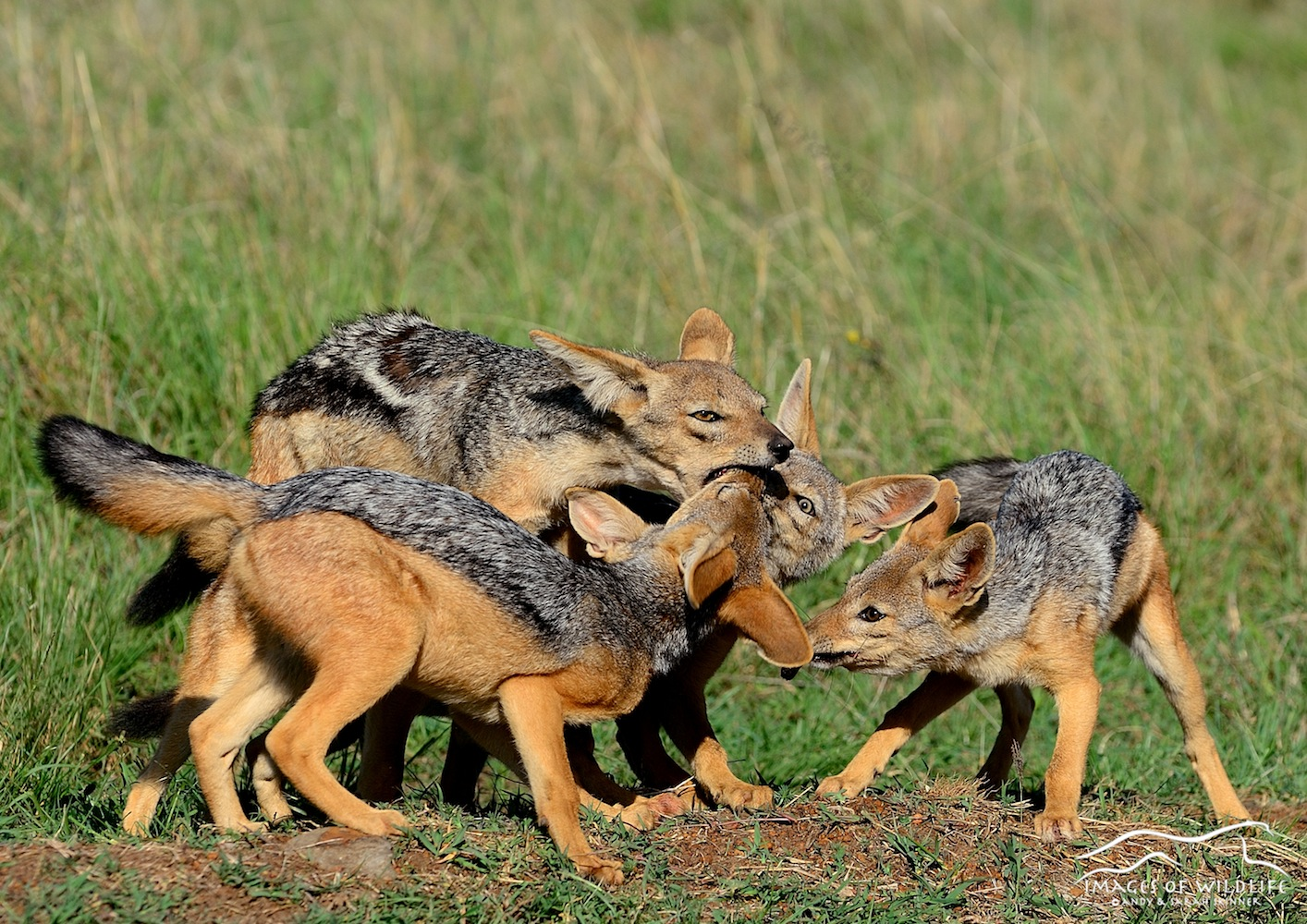 Black Backed Jackal 001