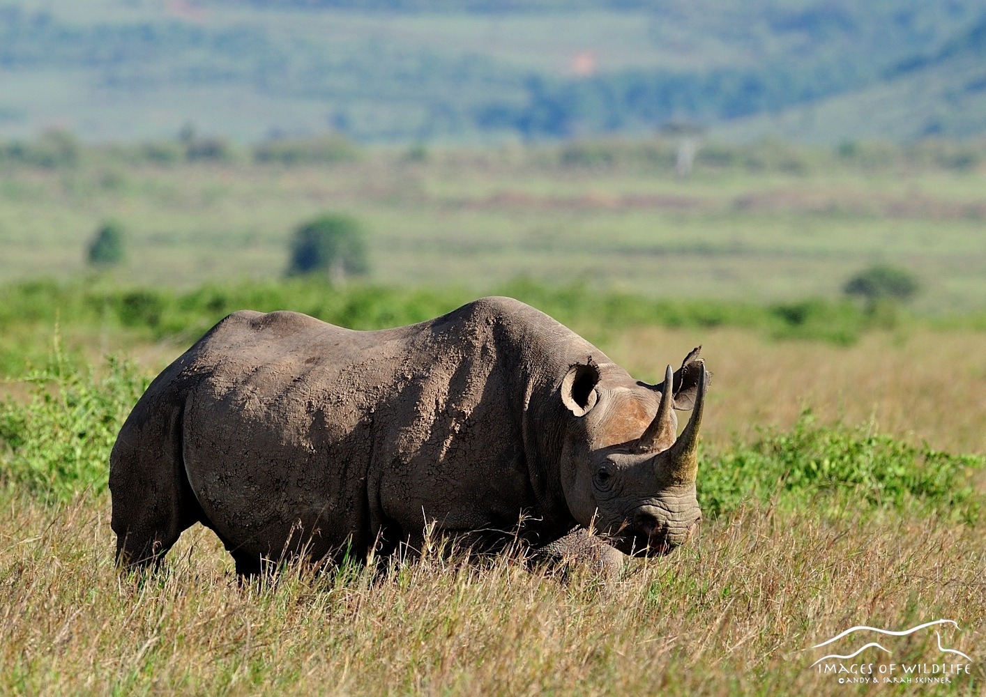 Black Rhino 001