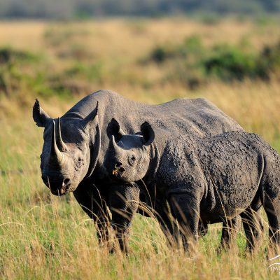Black Rhino 002