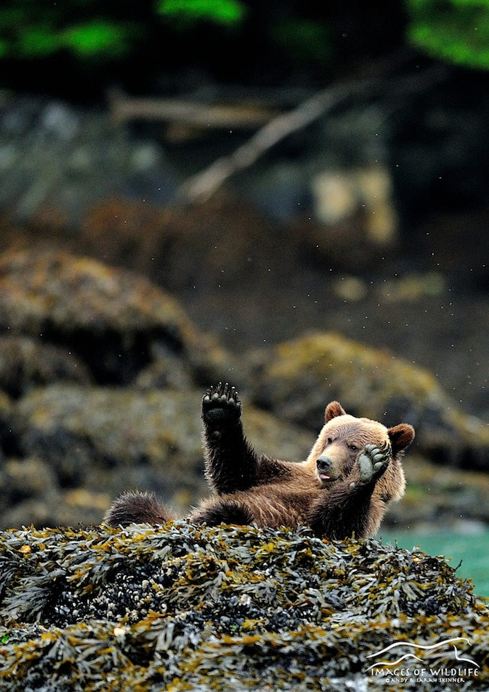 Brown Bear 013