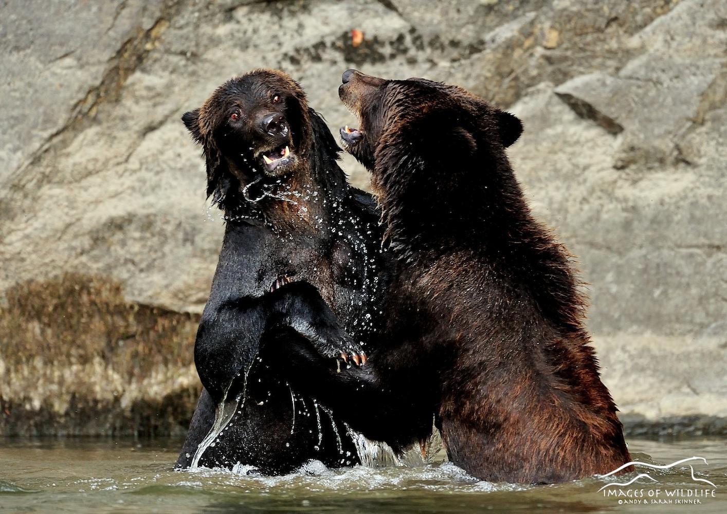 Brown Bear 020