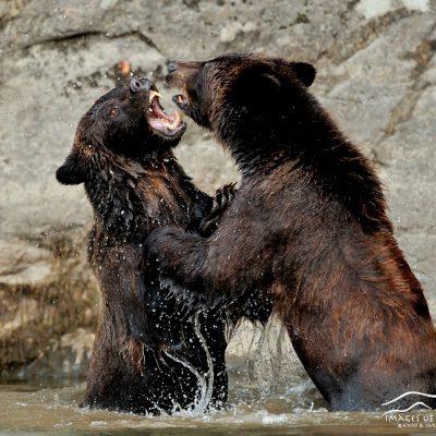 Brown Bear 024