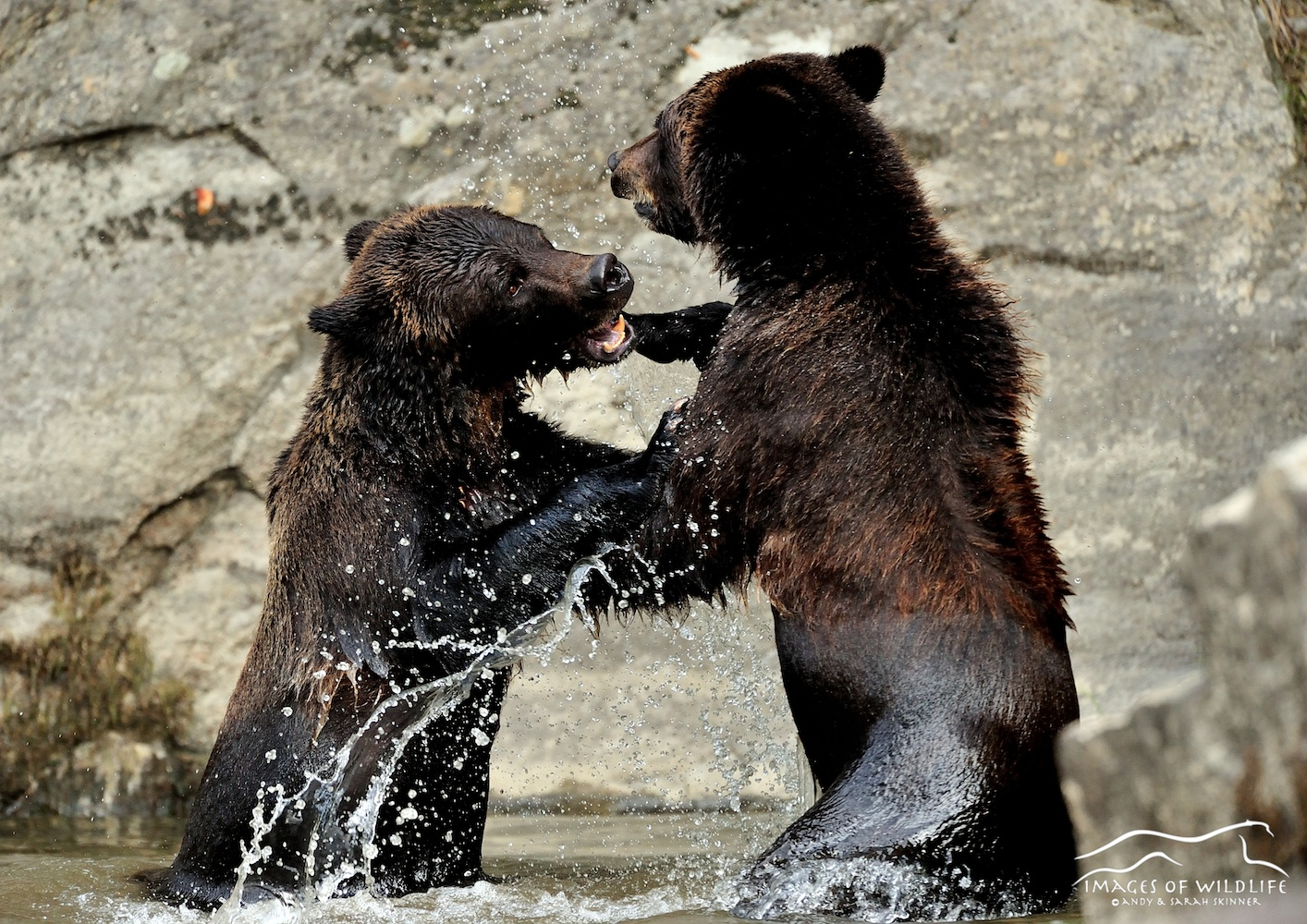 Brown Bear 026
