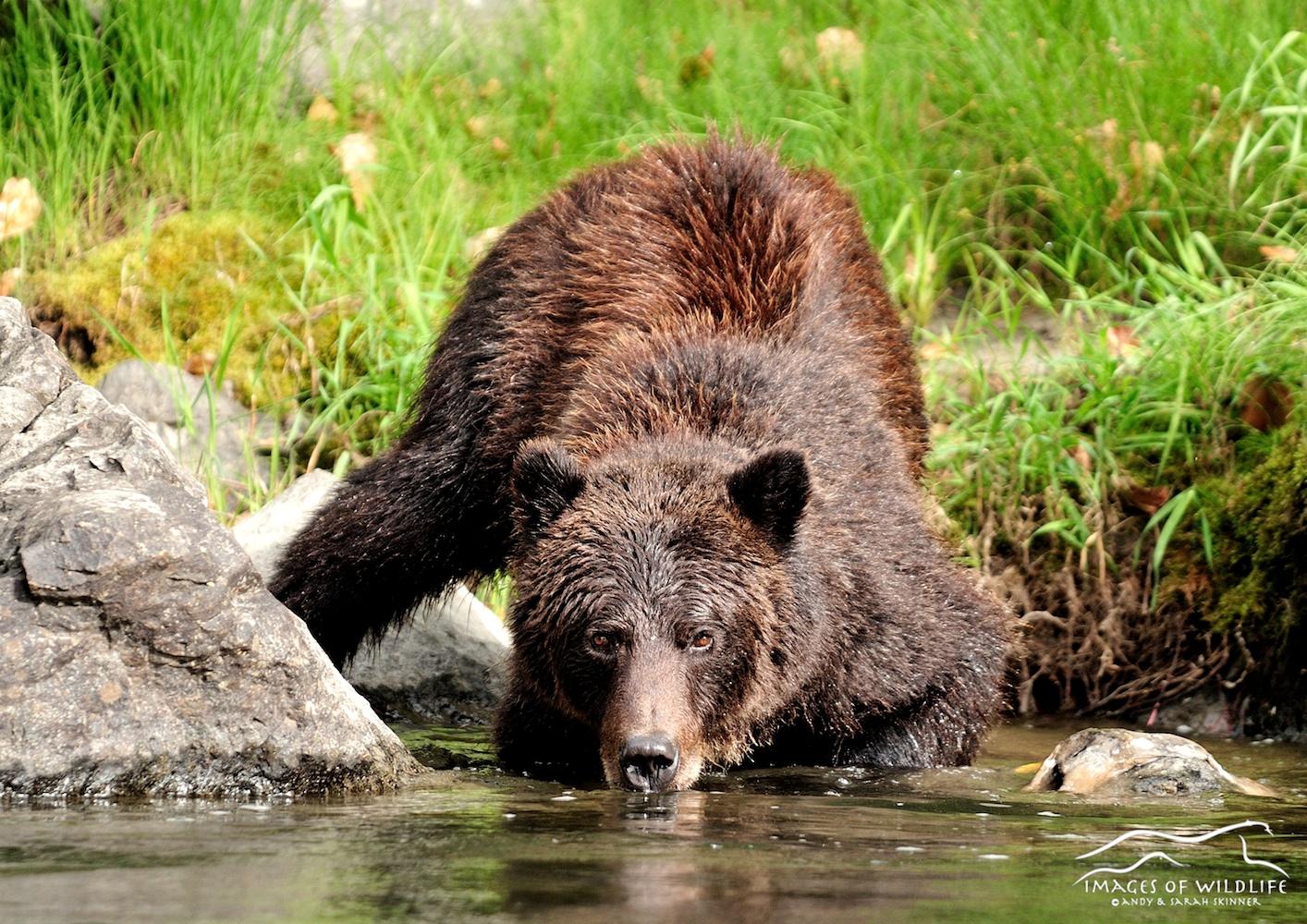 Brown Bear 042