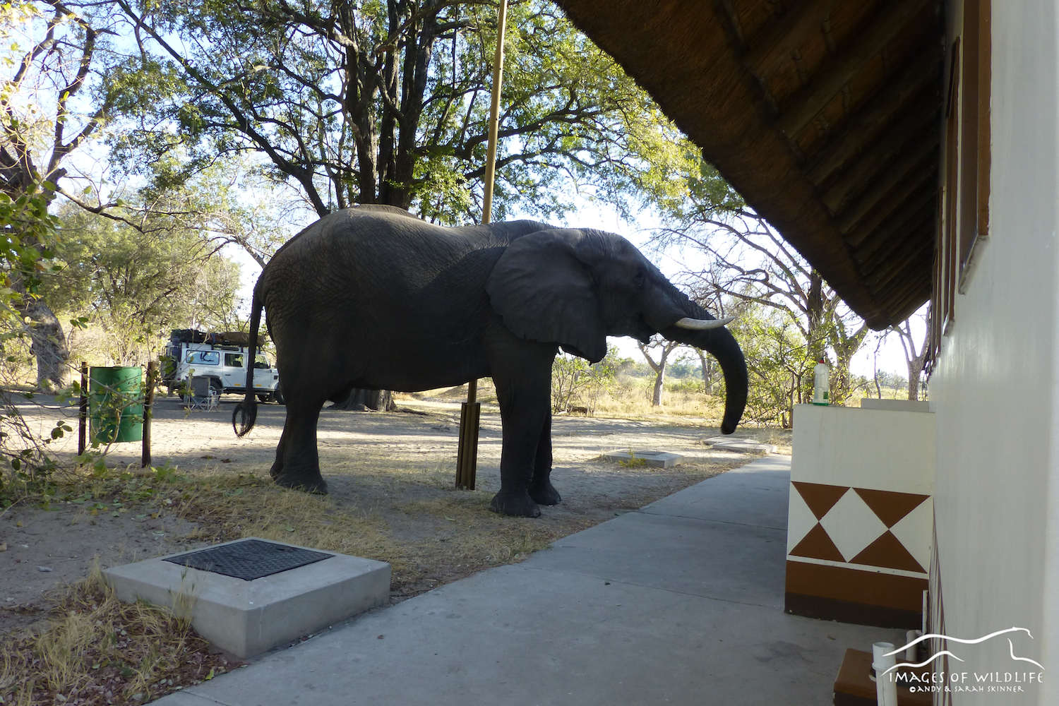Bull elephant visits the washrooms, Xakanaxa Campsite, Botswana