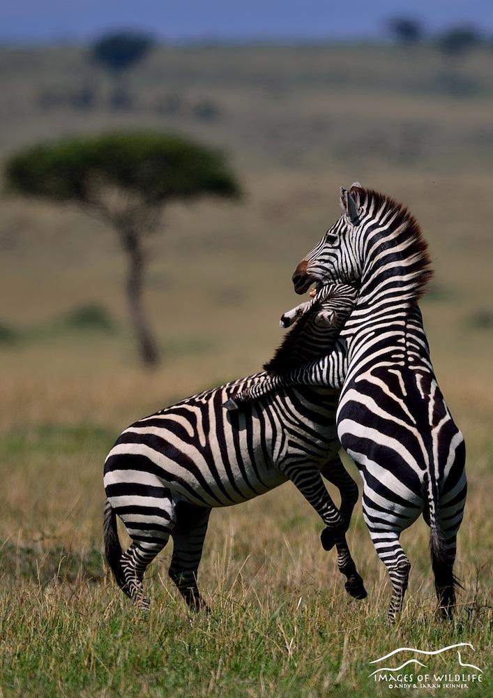 Burchells zebra 001