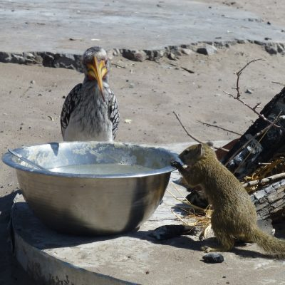 Campsite critters don't miss a trick!, Savuti, Botswana