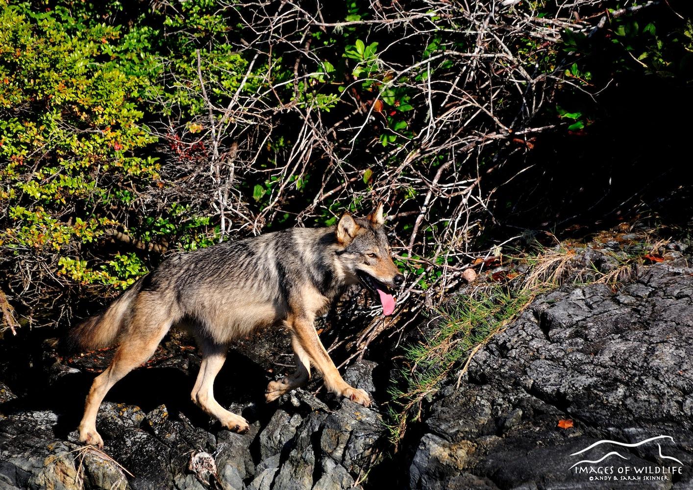 Grey Wolf 003