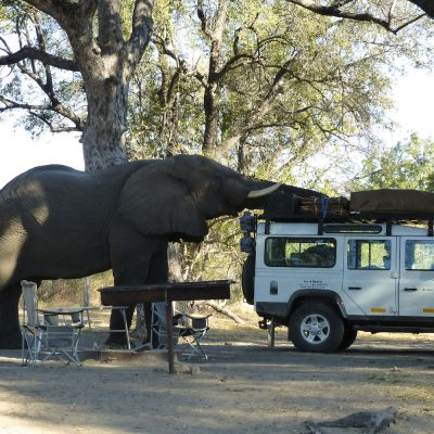 Huge bull elephant takes a liking to our vehicle in camp, Xakanaxa Campsite, Botswana