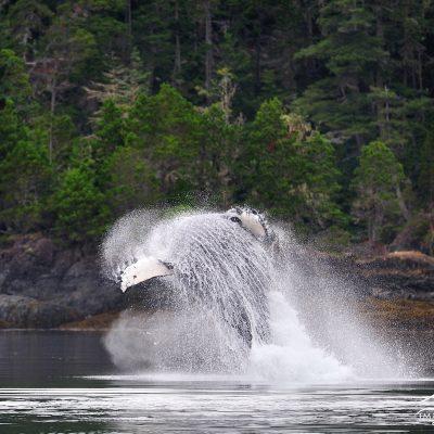 Humpback Whale 001