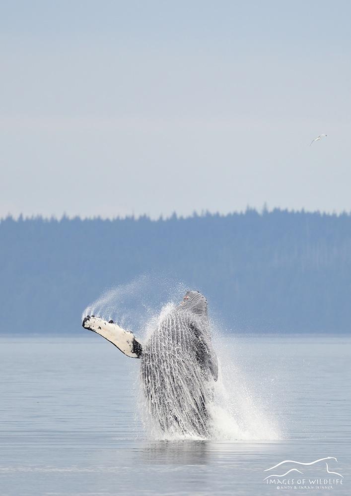 Humpback Whale 002