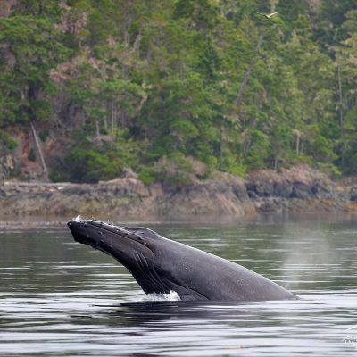 Humpback Whale 003