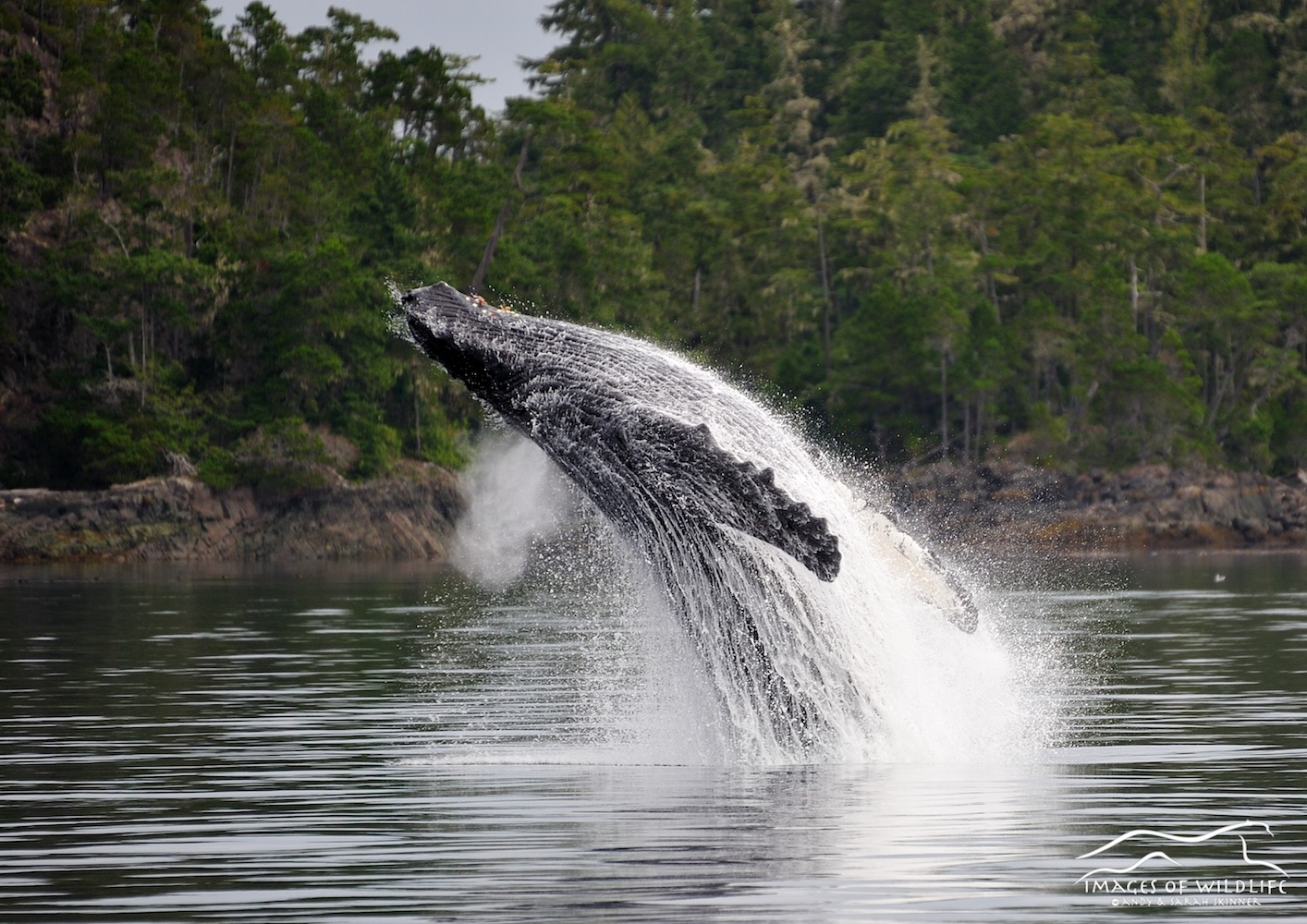 Humpback Whale 005