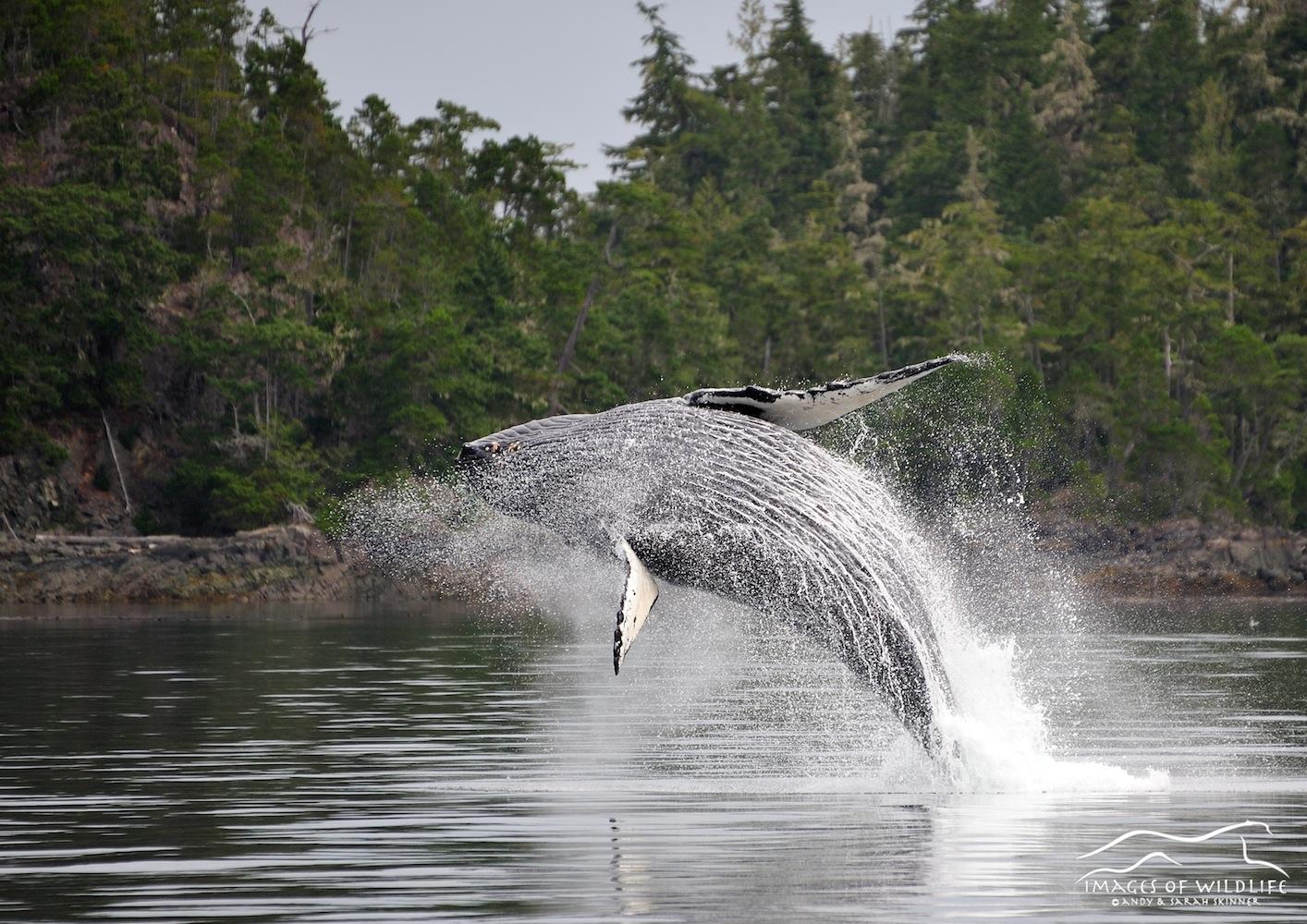 Humpback Whale 006