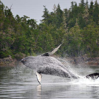 Humpback Whale 007