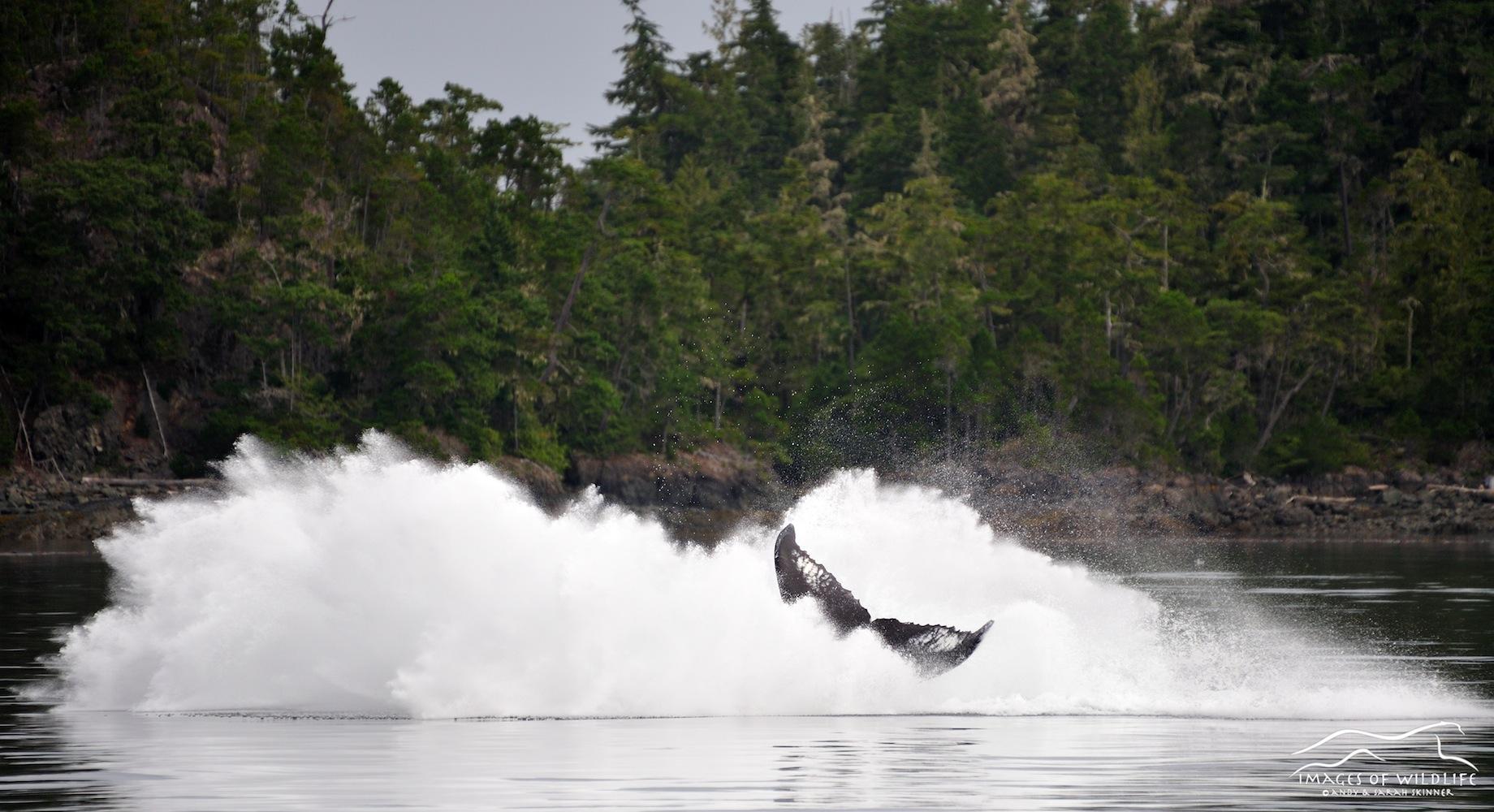 Humpback Whale 008