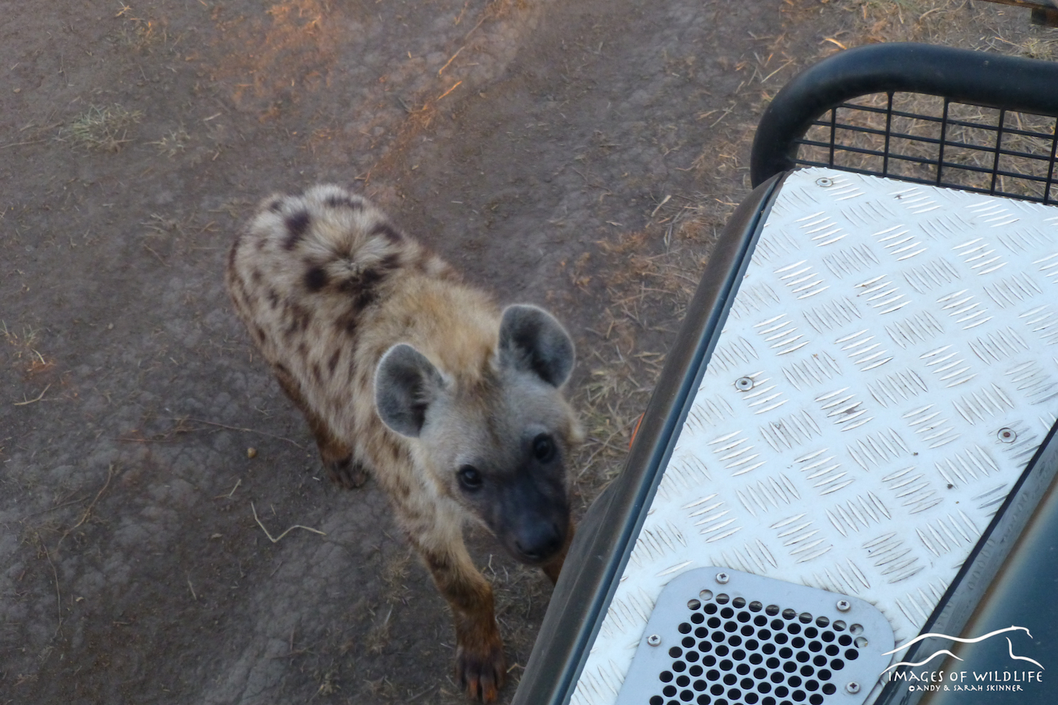 Hyena paying a visit to us, Maasai Mara, Kenya