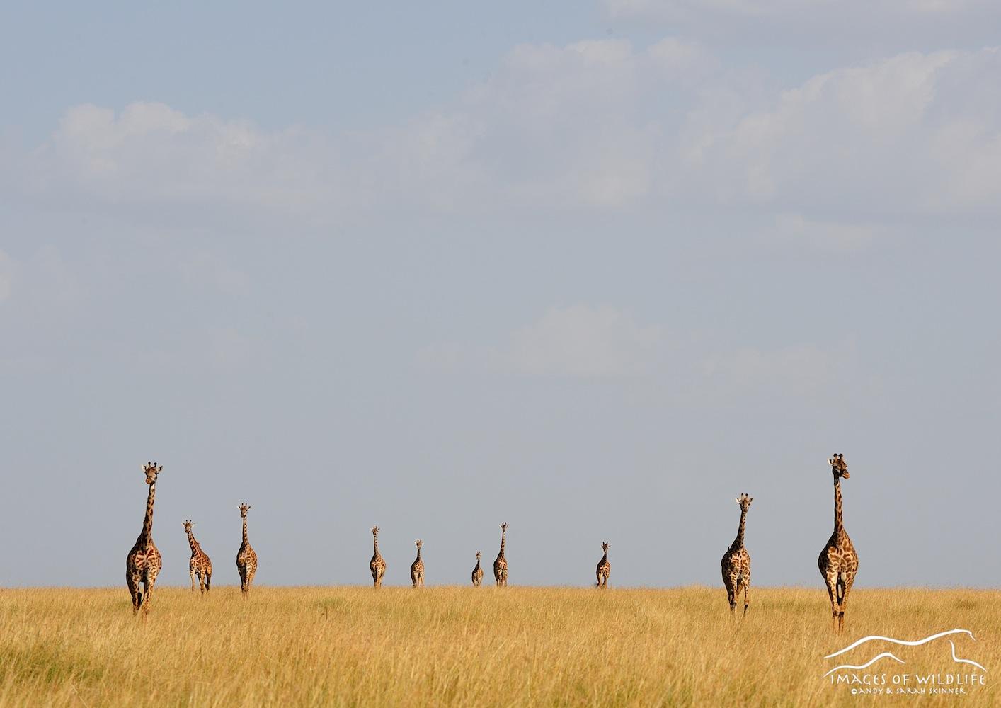 Masai Giraffe 001