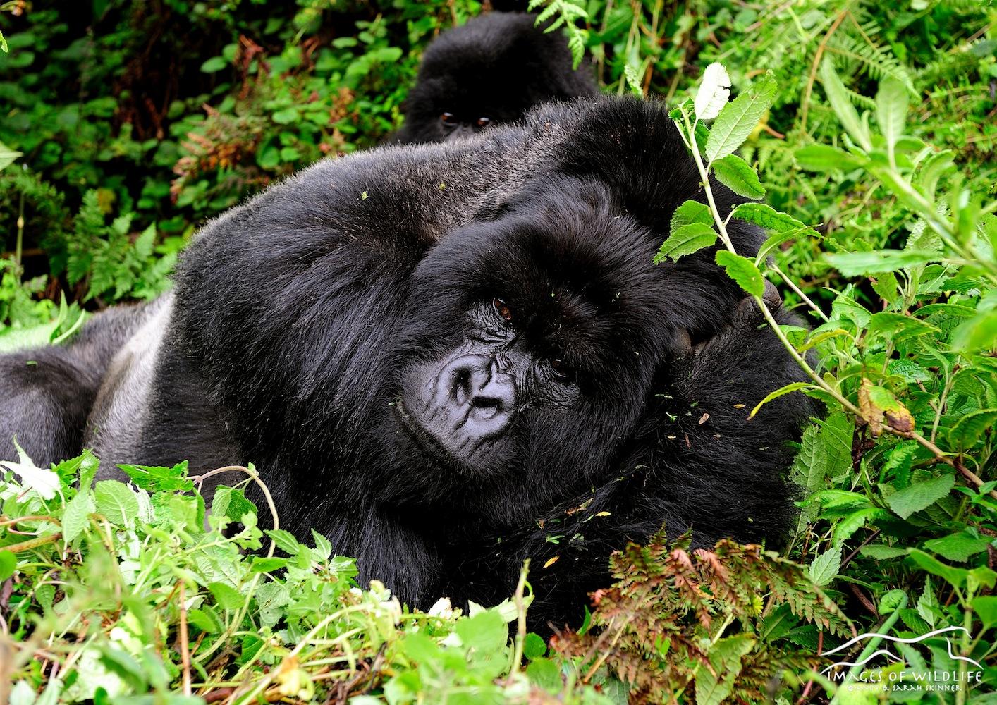 Mountain Gorilla 001
