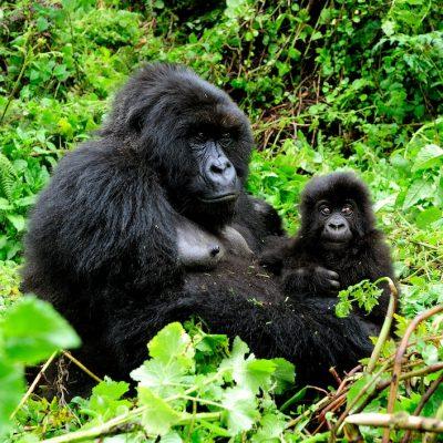 Mountain Gorilla 002