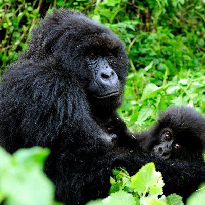 Mountain Gorilla 003