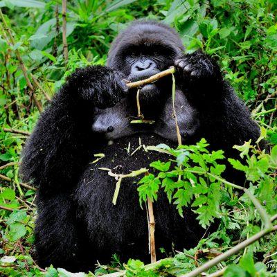 Mountain Gorilla 004