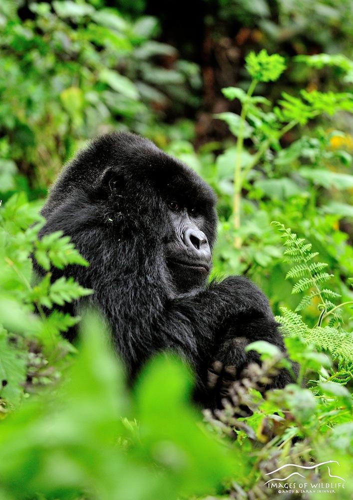Mountain Gorilla 005