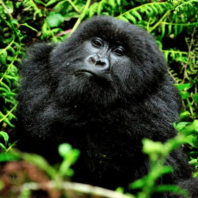 Mountain Gorilla 006