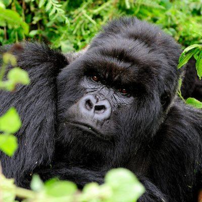 Mountain Gorilla 007