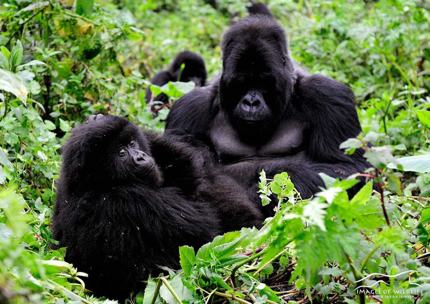 Mountain Gorilla 008