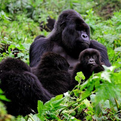 Mountain Gorilla 009