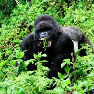 Mountain Gorilla 010