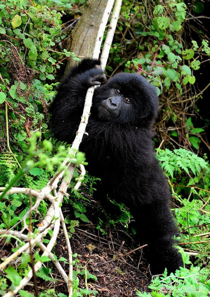 Mountain Gorilla 011