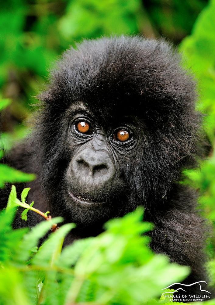 Mountain Gorilla 012