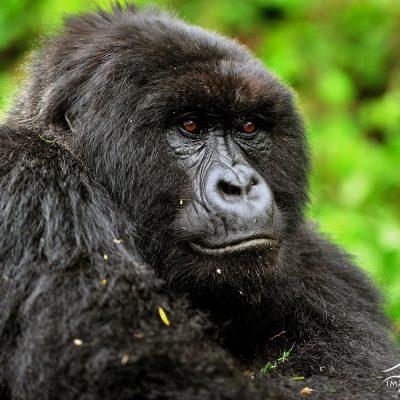 Mountain Gorilla 013