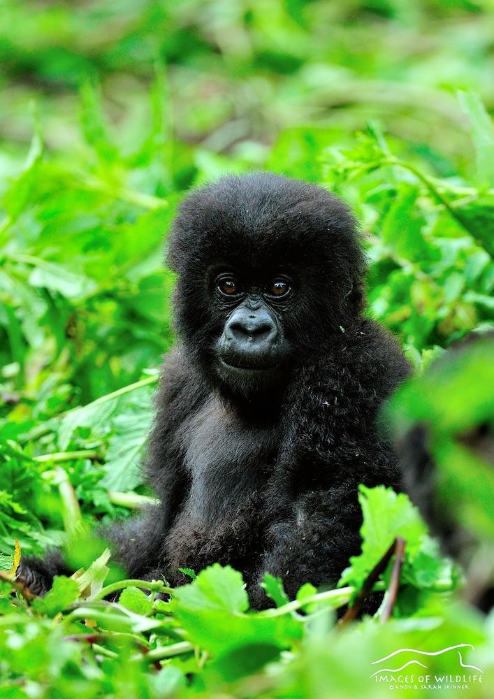 Mountain Gorilla 014