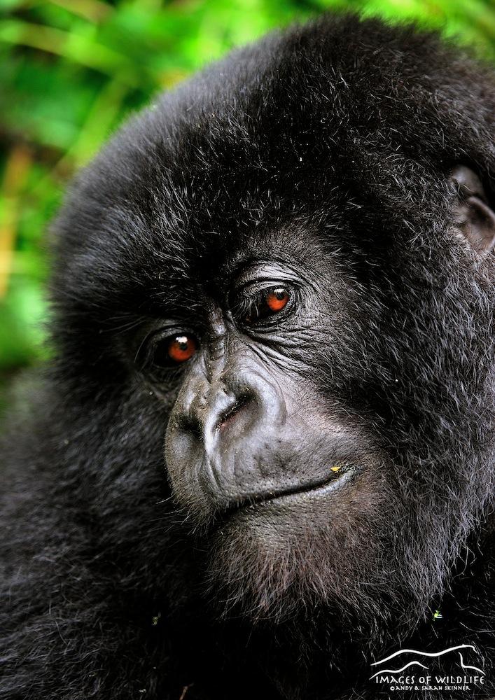 Mountain Gorilla 015