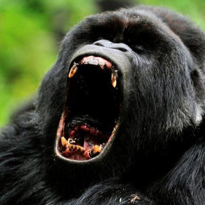 Mountain Gorilla 016