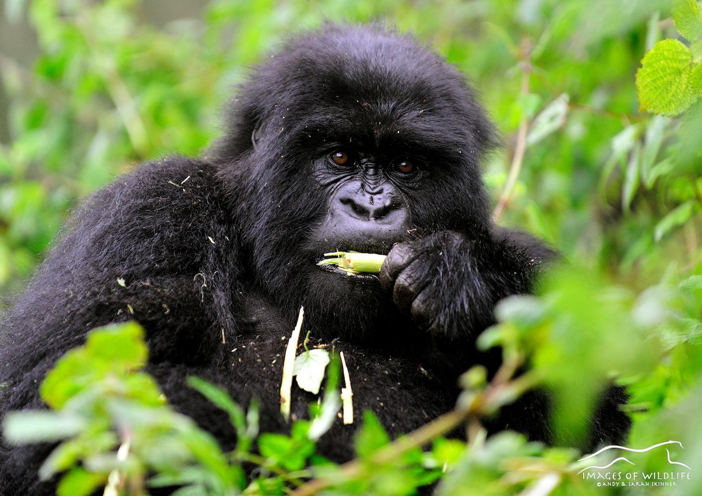 Mountain Gorilla 017