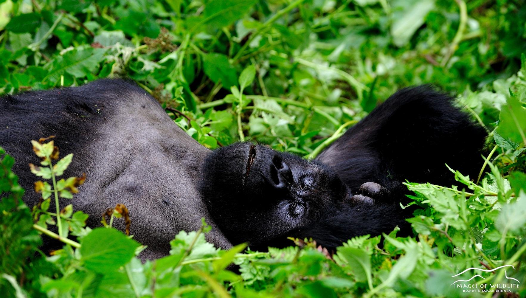 Mountain Gorilla 018