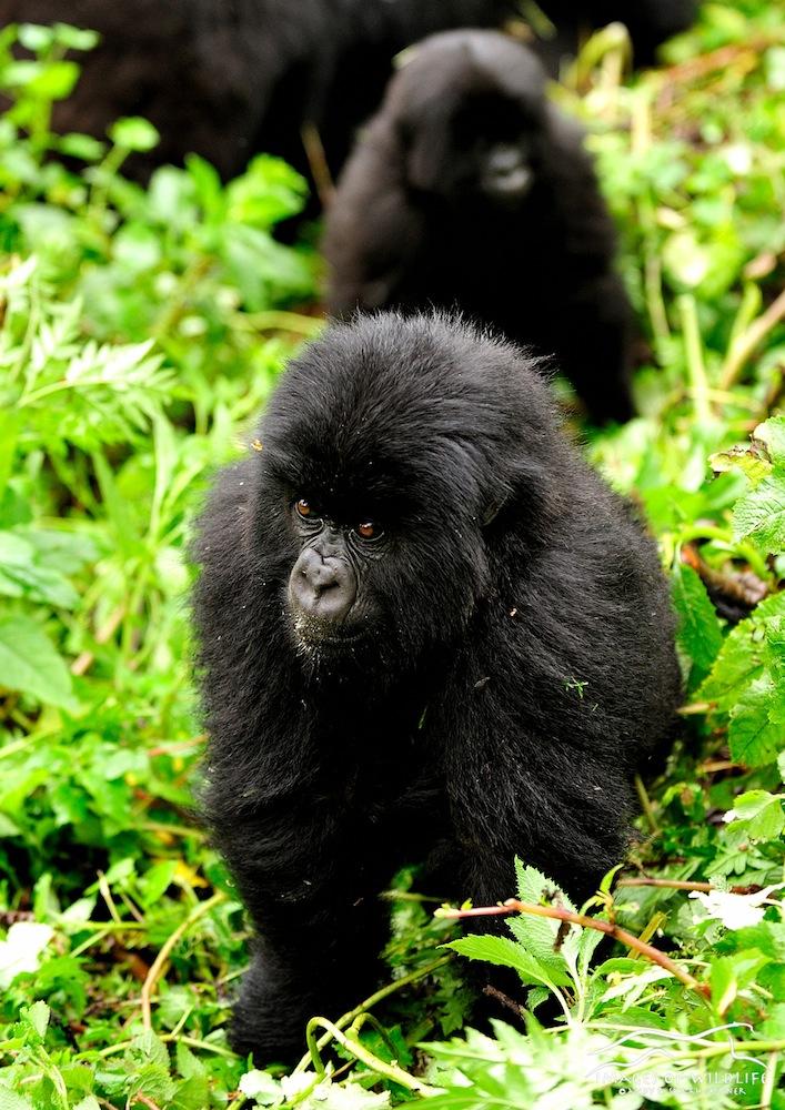Mountain Gorilla 019
